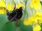 Hjälp forskarna hitta vårens första humledrottningar